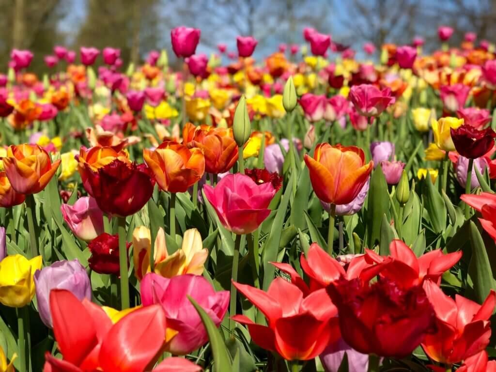 keukenhof tulip gardens. keukenhof photos. Amsterdam getaway in the spring