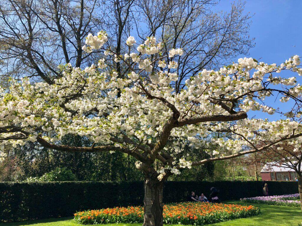 Cherry Blossom tree at Keukenhof Gardens in Lisse. Amsterdam getaway in the spring. #keukenhofphotos