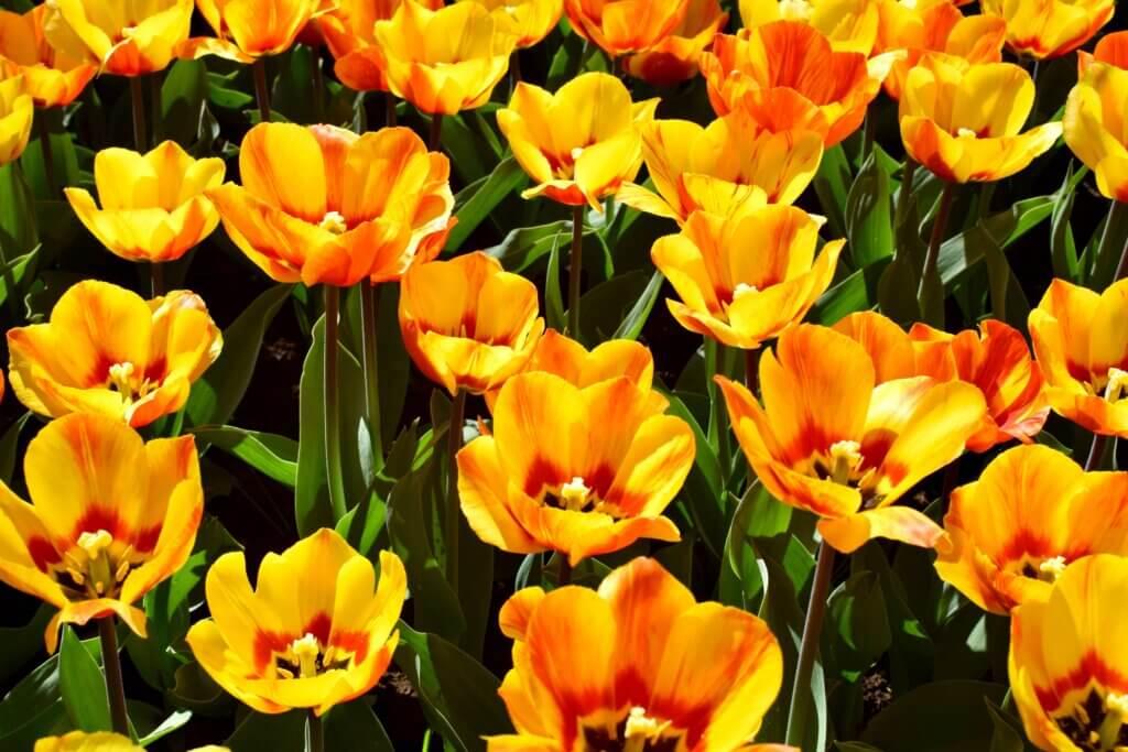 Photos of tulips at Keukenhof near Amsterdam in the Spring. Travels of Jenna