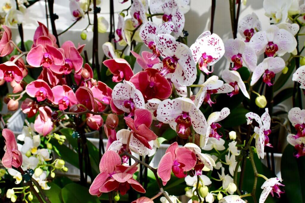 Orchids keukenhof gardens near amsterdam. #keukenhofphotos #amsterdamgetaway