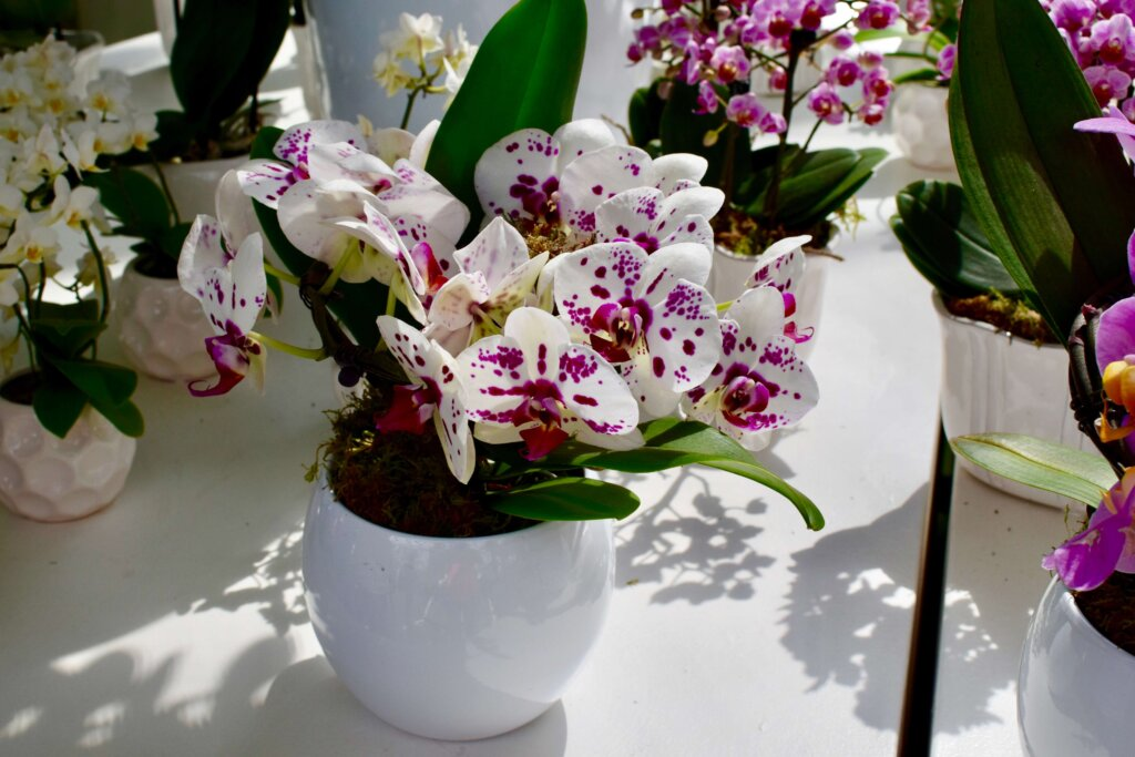 keukenhof photos of orchids. Book an Amsterdam getaway this spring