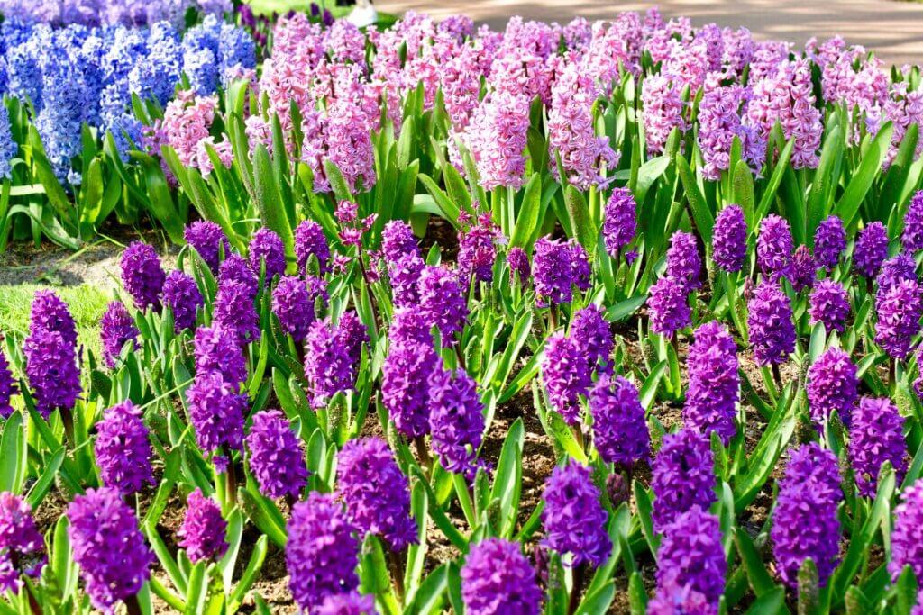 hyacinths at keukenhof near Amsterdam. Book and Amsterdam getaway this spring and visit keukenhof. Travels of Jenna